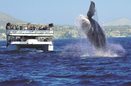 Los Cabos Whale Watching Cruise...