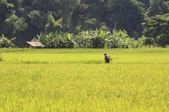 Live Like a Local: Rice Farmer for a Day