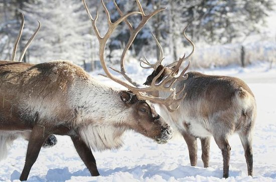 Reindeer Safari to Husky Farm from...