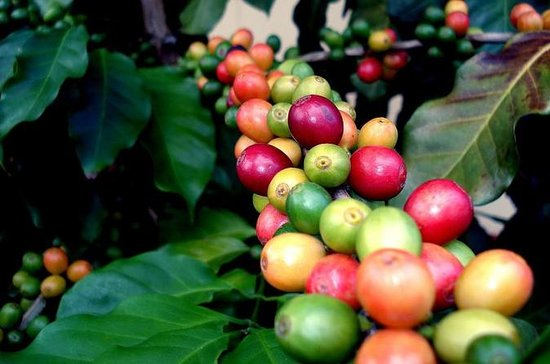 Puerto Rico Coffee Plantation and History Tour from San Juan