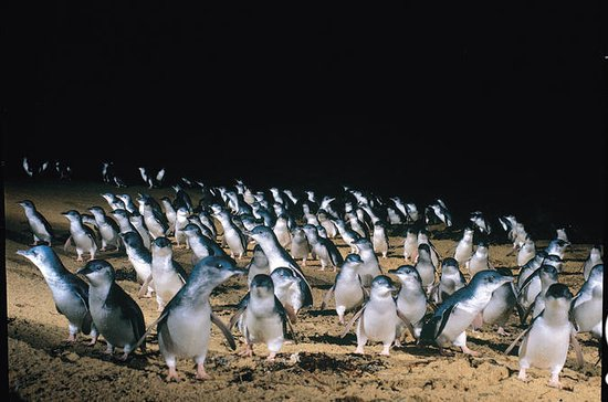 Full-Day Penguin Parade and Melbourne...
