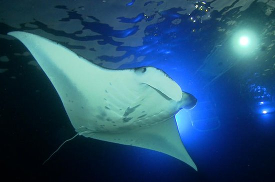 Manta Ray Night Snorkel Big Island...