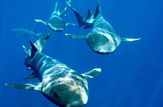 Nassau Shore Excursion: Shark Diving ...