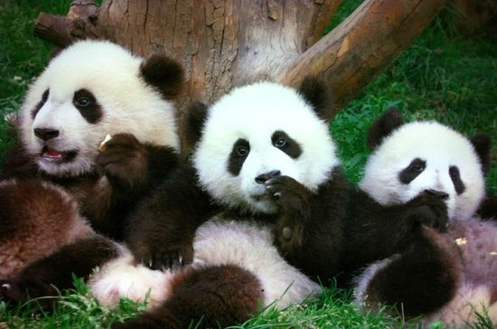Beijing Family Tour: Pandas at...