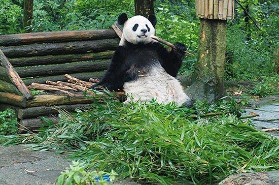 Giant Panda and Leshan Buddha Day...