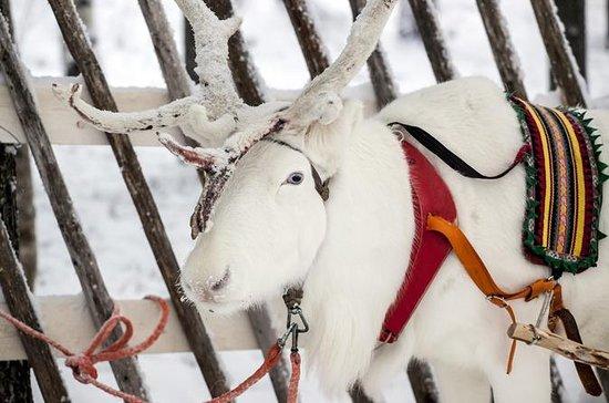 Safari de renos en Laponia desde...