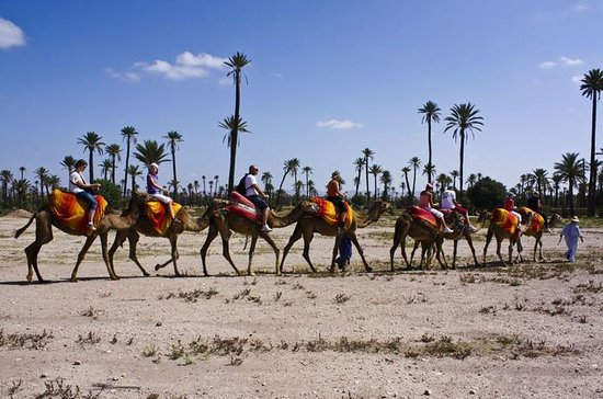 Camel Ride in the Palm Grove of...