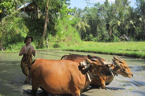 Bali Countryside Tour Including Sangeh...