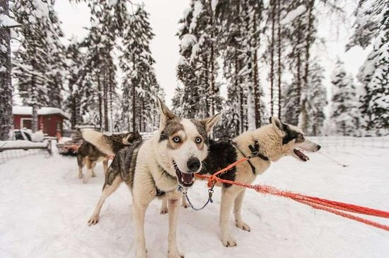 Husky Safari from Rovaniemi Including...