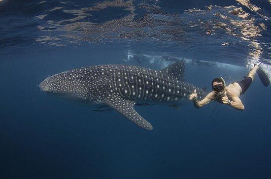 Ningaloo Reef Whale Shark Snorkeling...