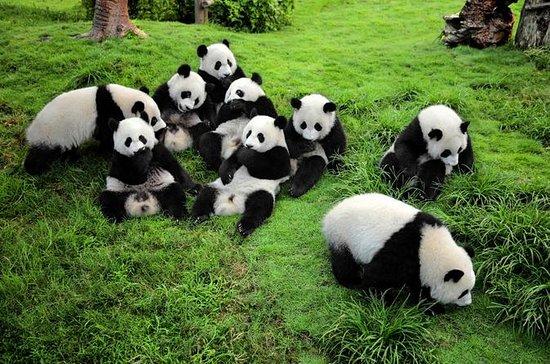 Lo más destacado de Chengdu: Panda...