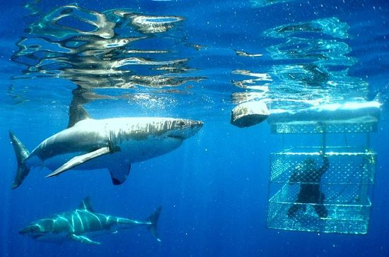 Shark Dive Tour fra Cape Town