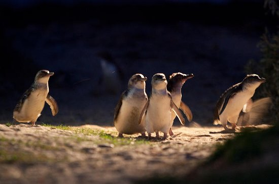Phillip Island Penguins, Moonlit...