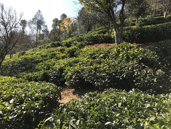 ‪Kausani Tea Estate‬