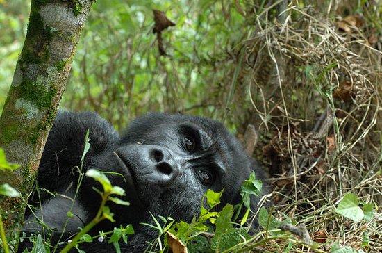 Safari de 3 días de Gorila de Ruanda