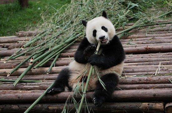 Half-Day Tour at Chengdu Panda...