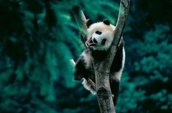 Dagstur: Chengdu Panda Breeding Base...