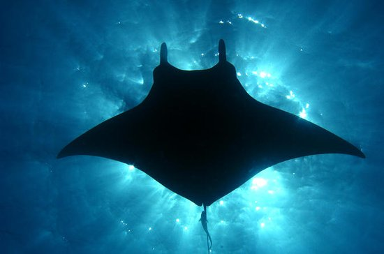 Manta Ray Snorkel Sunset or Moonlight ...