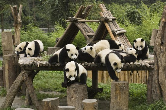 One-Day Tour: Chengdu Panda Base and...