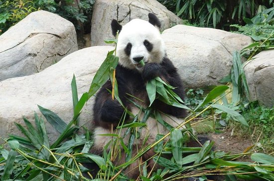 Private Day Tour: Chengdu Panda