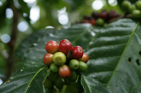 Arenal Costa Rican Coffee Tour with...