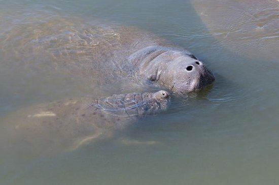 Manatee Kayaking Tour Along Florida's...