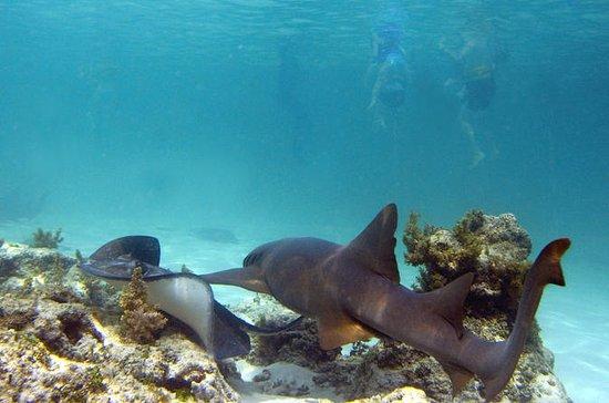 Shark og Stingray Snorkel Tour i...