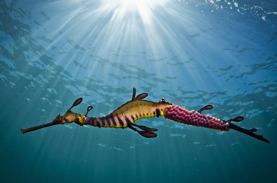 Port Phillip Bay Snorkeling with Sea Dragons