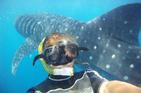 Snorkel and Swim with a Whale Shark...