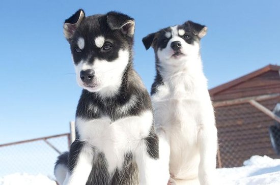 Tromso Husky Farm Puppy-Training...