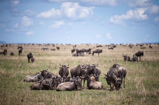 8-Day Great Wildebeest Calving...