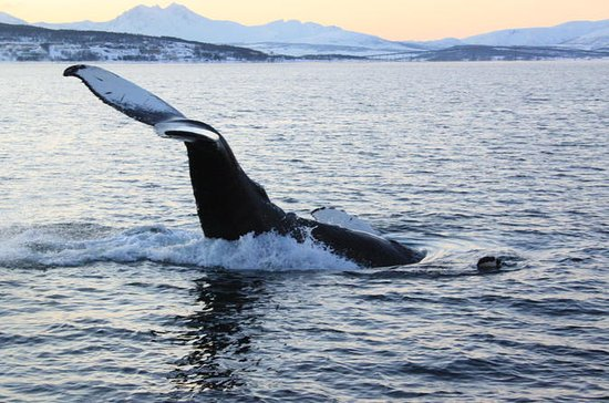 Whale and Sea Bird Safari by Boat from Tromso to Whale Island