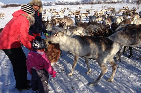 Reindeer Feeding, Lasso Throwing, and...
