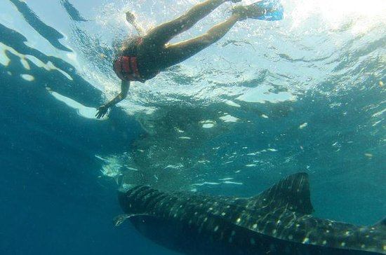Excursión con tiburones ballena de la...