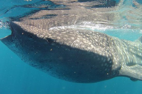 Small-Group Whale Shark Tour from...