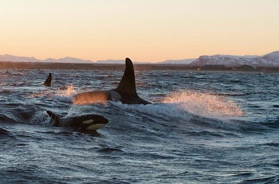 Winter Orca and Whale Safari in...