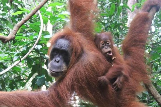 Sumatra Half-Day Orangutan Trek from...
