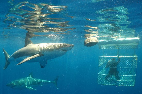Shark Cage Diving Full-Day Tour from...