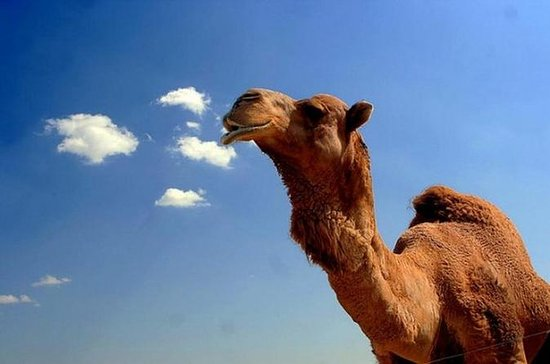 2-Hour Camel Ride Guided Tour from...