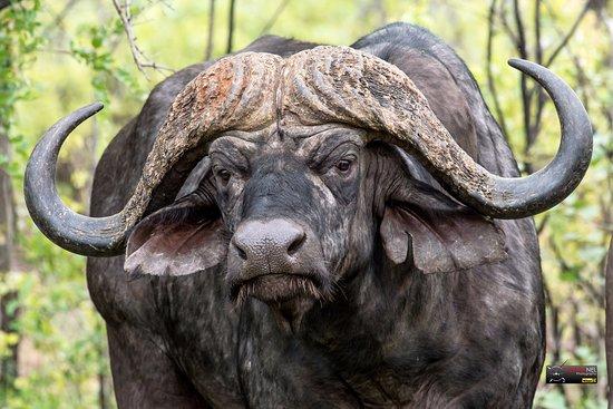 Shingwedzi Rest Camp: Cape Buffalo at Shingwedzi