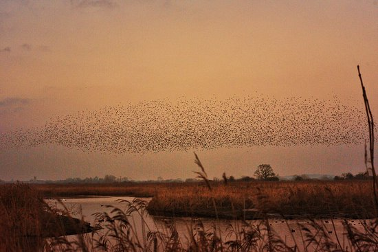 Beckley, UK: Starlings murmeration by naomithompsonphotography