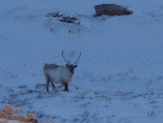 Kangerlussuaq, Groenland: Reindeer
