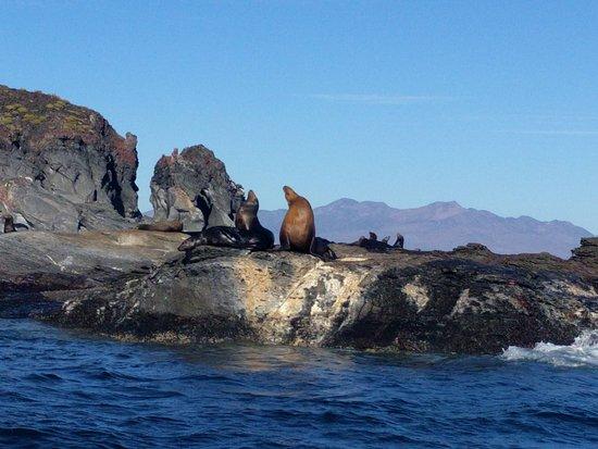 En Isla Coronados Vive Una Colonia De Ruidosos Y Hermosos Lobos
