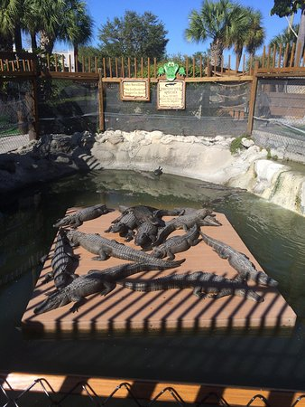 Smugglers Cove Adventure Golf : Nice place to play & alligators