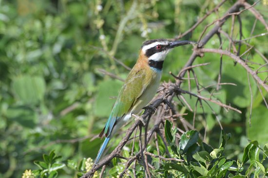 Rhino River Camp: White Throated Bee Eater