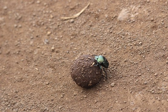 Rhino River Camp: Dung Beetle