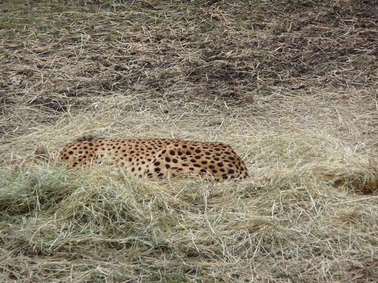 cheetah sleeping picture of oglebay park good zoo wheeling