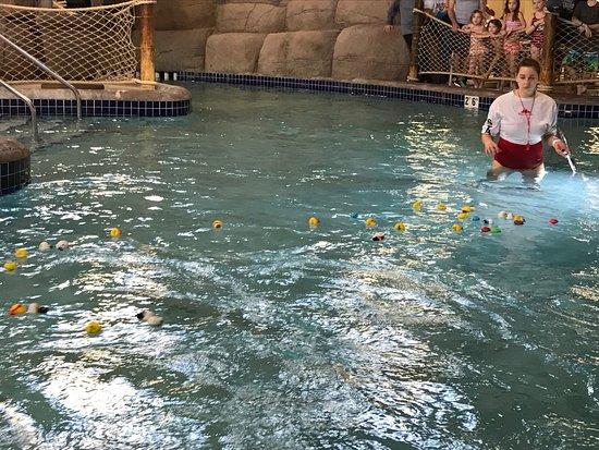 Lake Delton, WI: Duck races