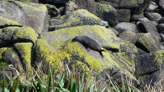Cape Foulwind Seal Colony: Seals beim Sonnen