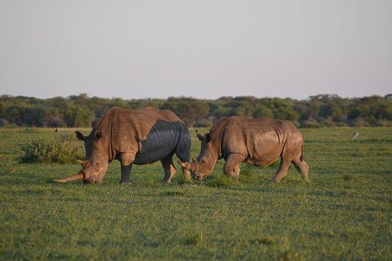 Serowe, Botswana: Dusk at Khami Rhino Sanctuary, 2 fine specimens just off the park road